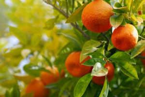 Orange trees with ripe oranges.