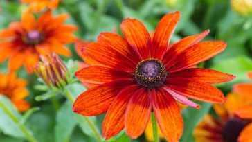 Blood orange cone flower