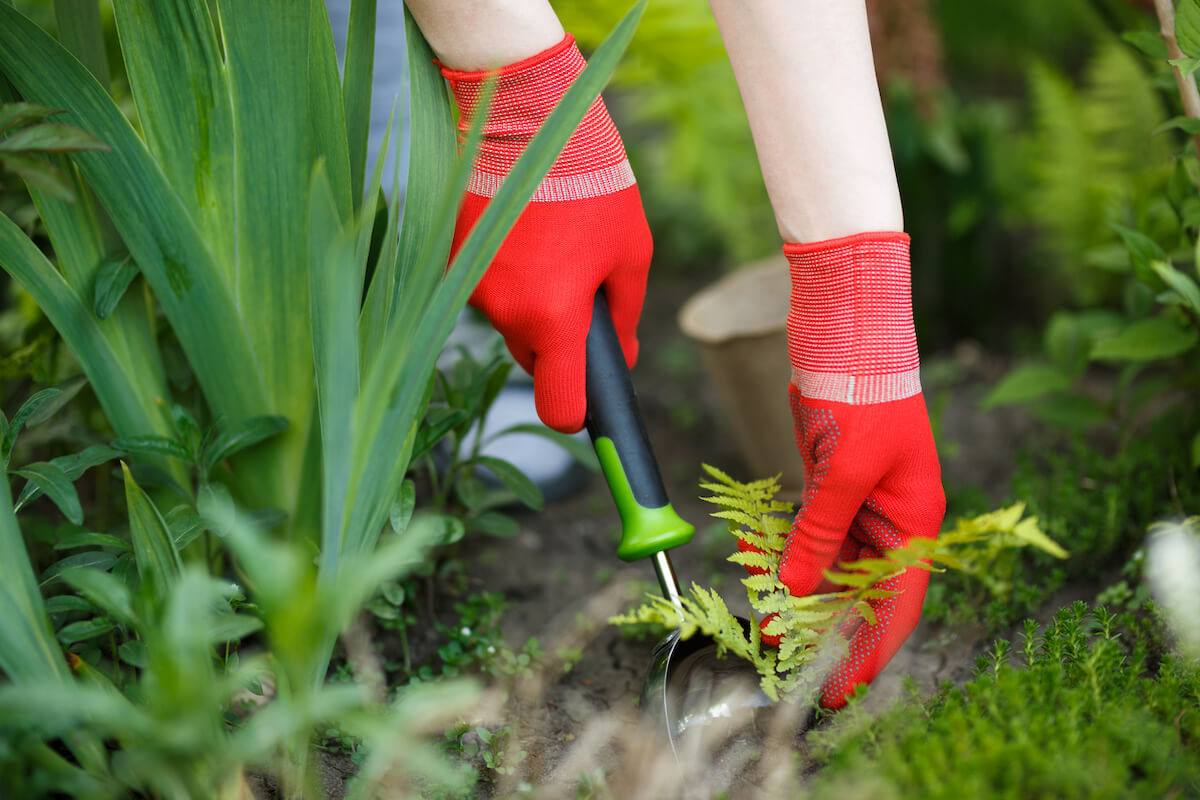 gloved woman hand holding weed and tool removing it from soil