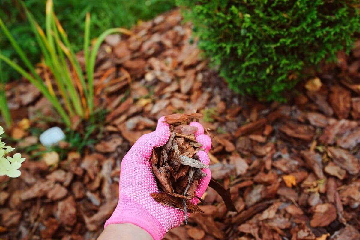 Pink Gloved hand mulching a garden