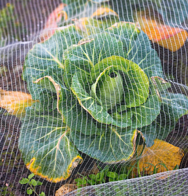Cabbage under net farm