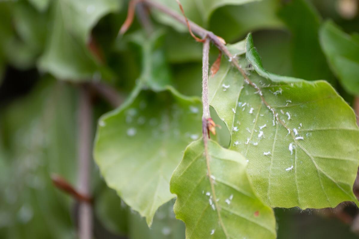 Mealybugs on leaves