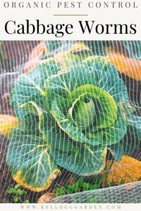 netting over green cabbage in garden