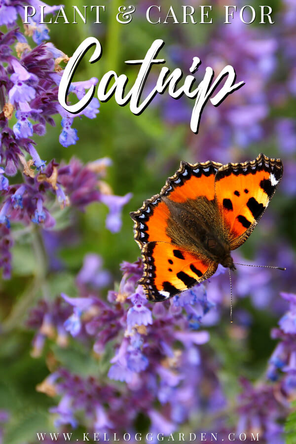 butterfly on purple catnip