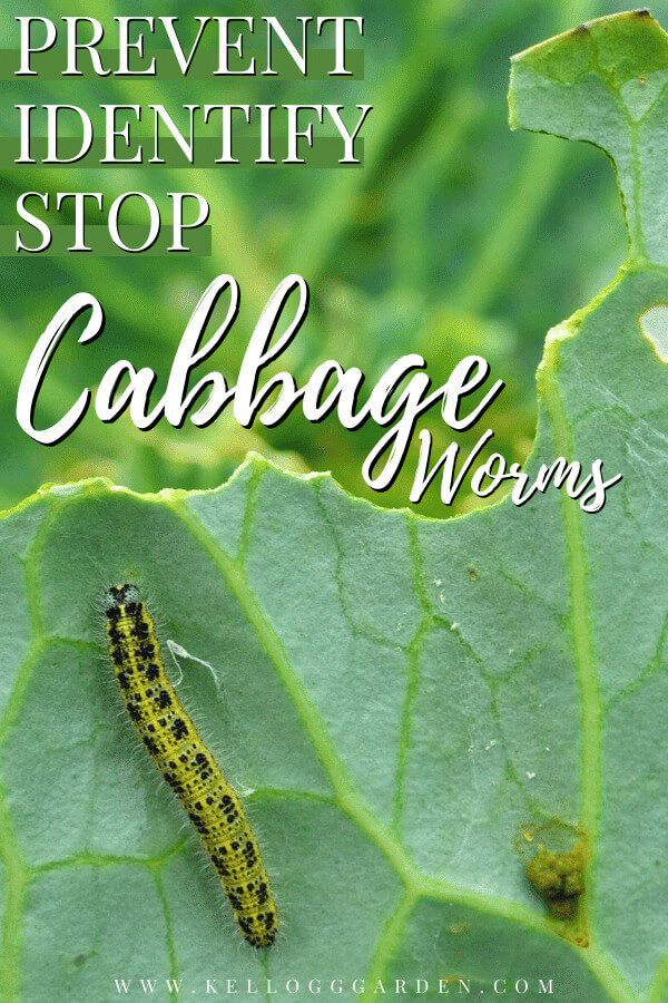 Cabbage worm on green leaf