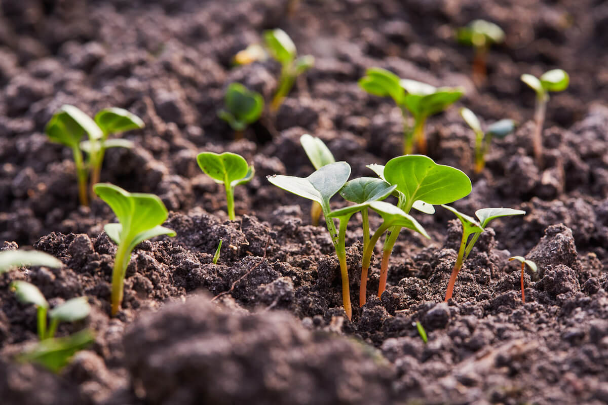 radish sprouts growing in the soil