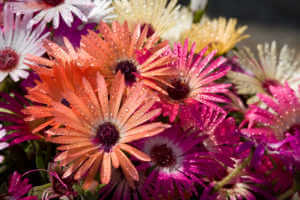Colorful ice plants in bright sunlight