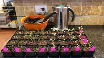 Bowl of potting soil, stainless steel kettle, and tray of seedlings sitting on a kitchen countertop.