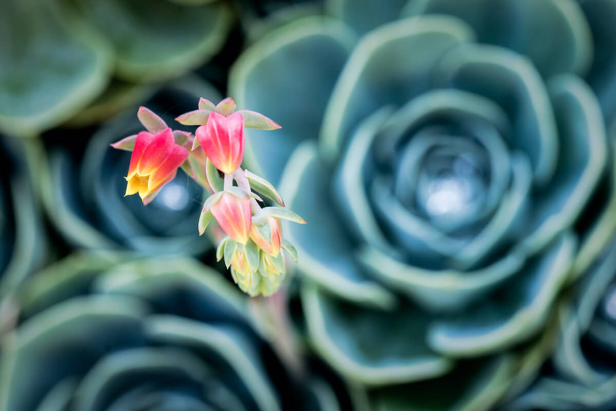 blue echeveria succulent with colorful blooms of flowers.