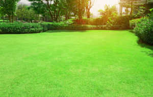 Fresh green Burmuda grass smooth lawn with curve form of bush, trees on the background in the house's garden under morning sunlight ( Fresh green Burmuda grass smooth lawn