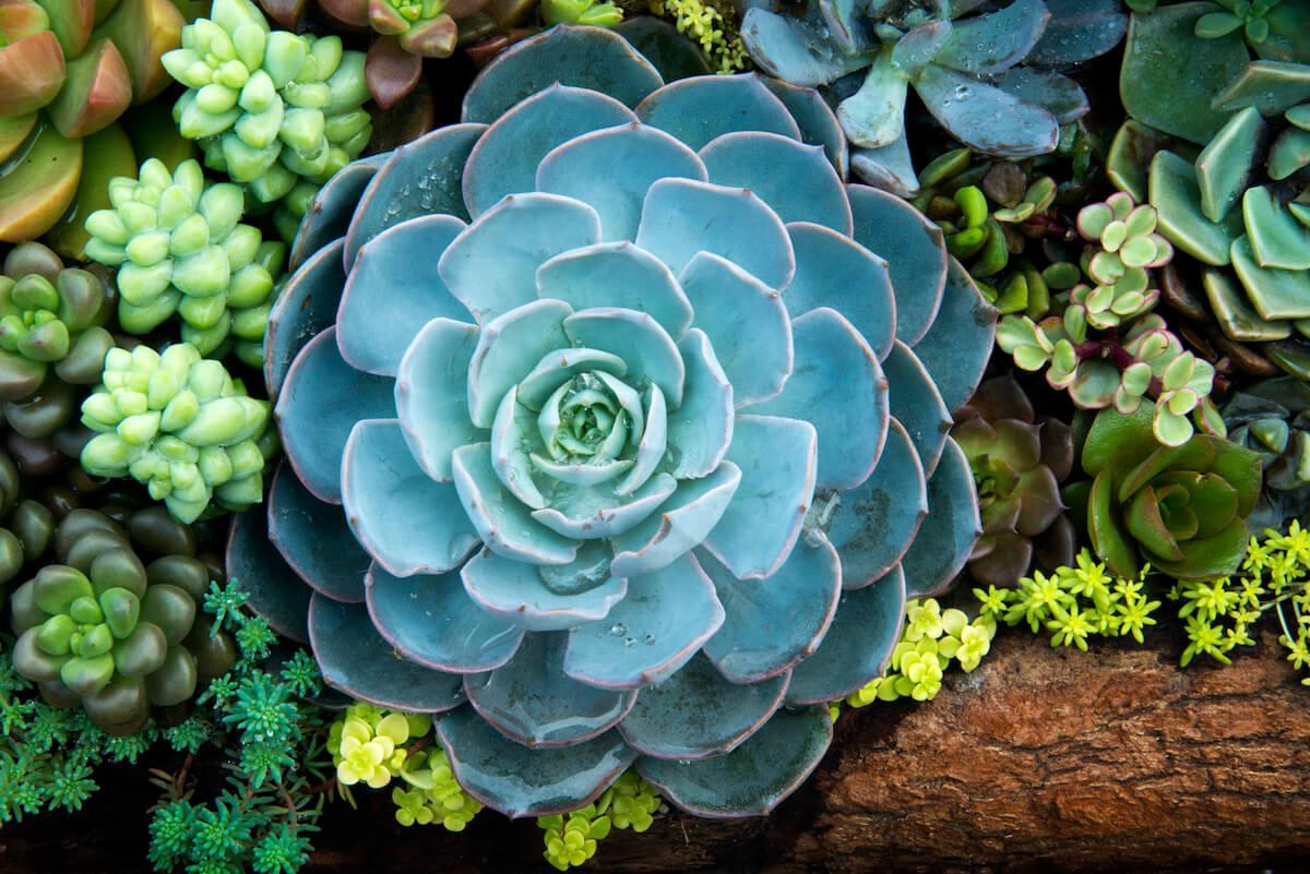 Miniature succulent plants surrounding large echeveria elegan