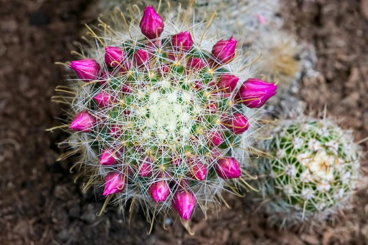 Mammillaria Cactus with purple flowers