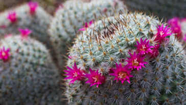 haloed blooming Mammillaria with bright pink flowers