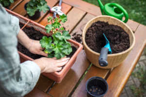 Planting Pelargonium flower into window box on wooden table