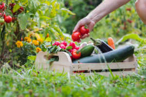 Filling a wooden crate with a fresh garden harvest
