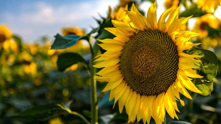 A field of blooming sunflowers on a sunny summer day