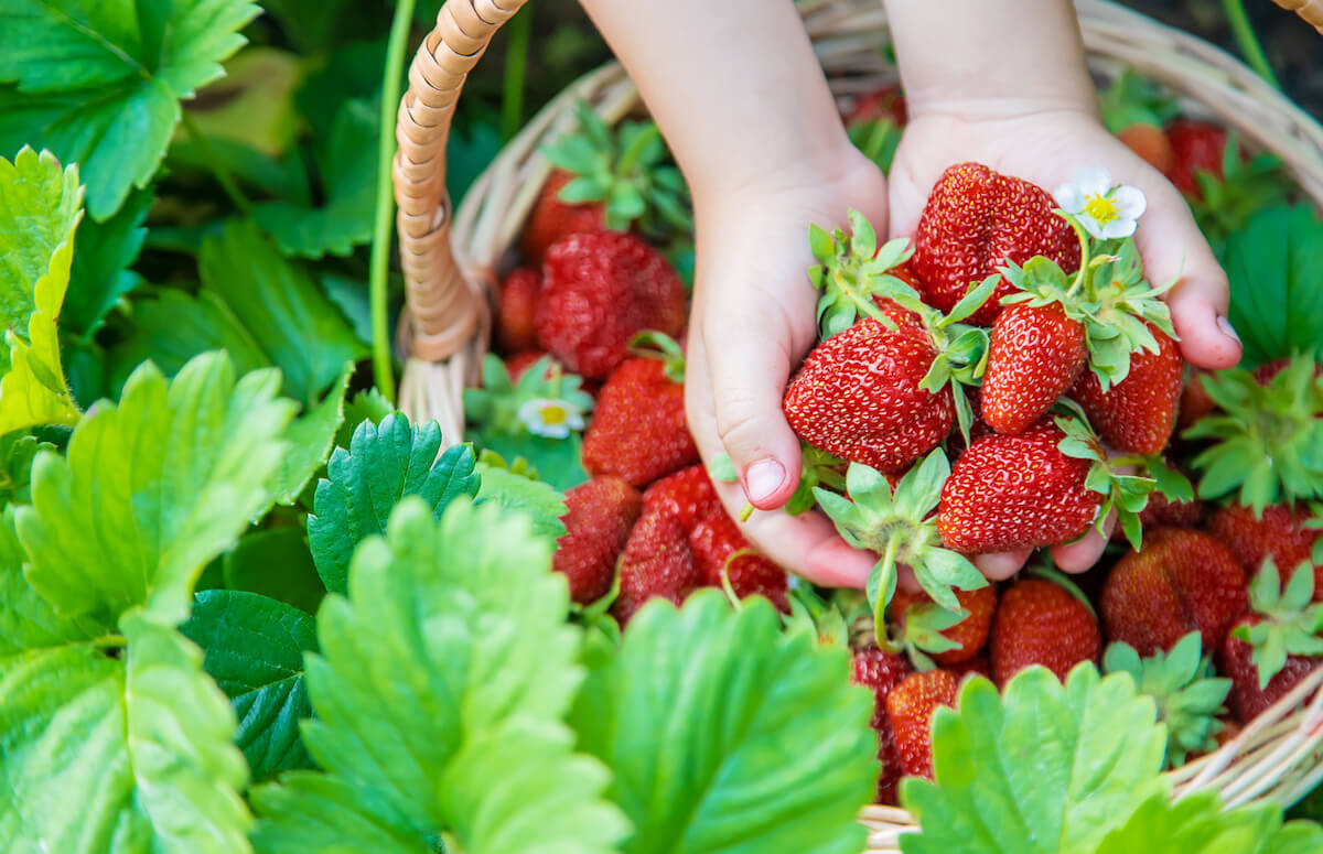 The child collects strawberries in the garden
