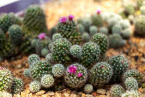 bunches of mammillaria with small pink flowers growing in soil
