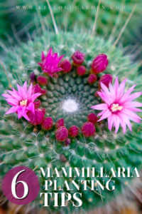 top view of mammillaria plant with blooming pink flowers