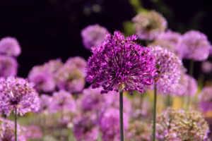 Purple allium flower garden