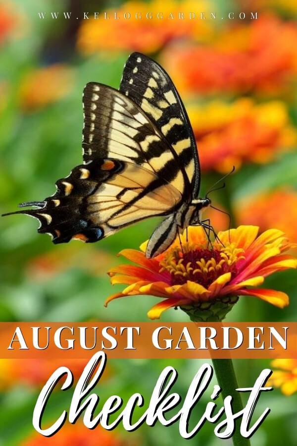 Tiger swallowtail butterfly on a calendula flower