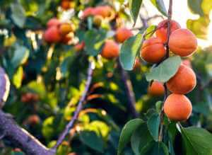 Apricot fruits on tree