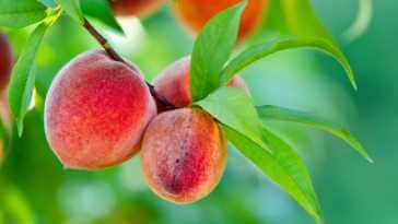Apricots growing on a tree branch