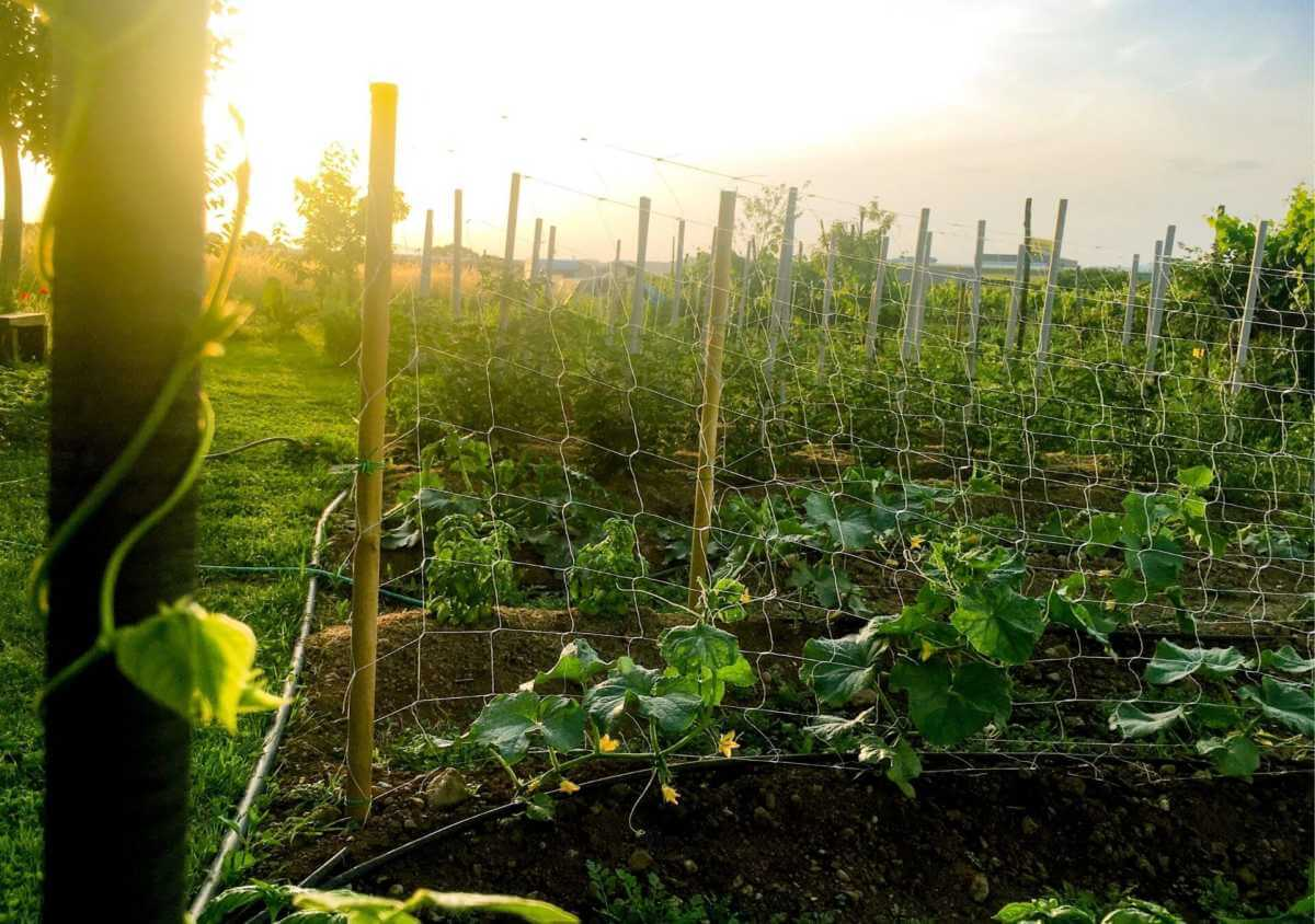 Vegetable garden with plants growing up wire trellises