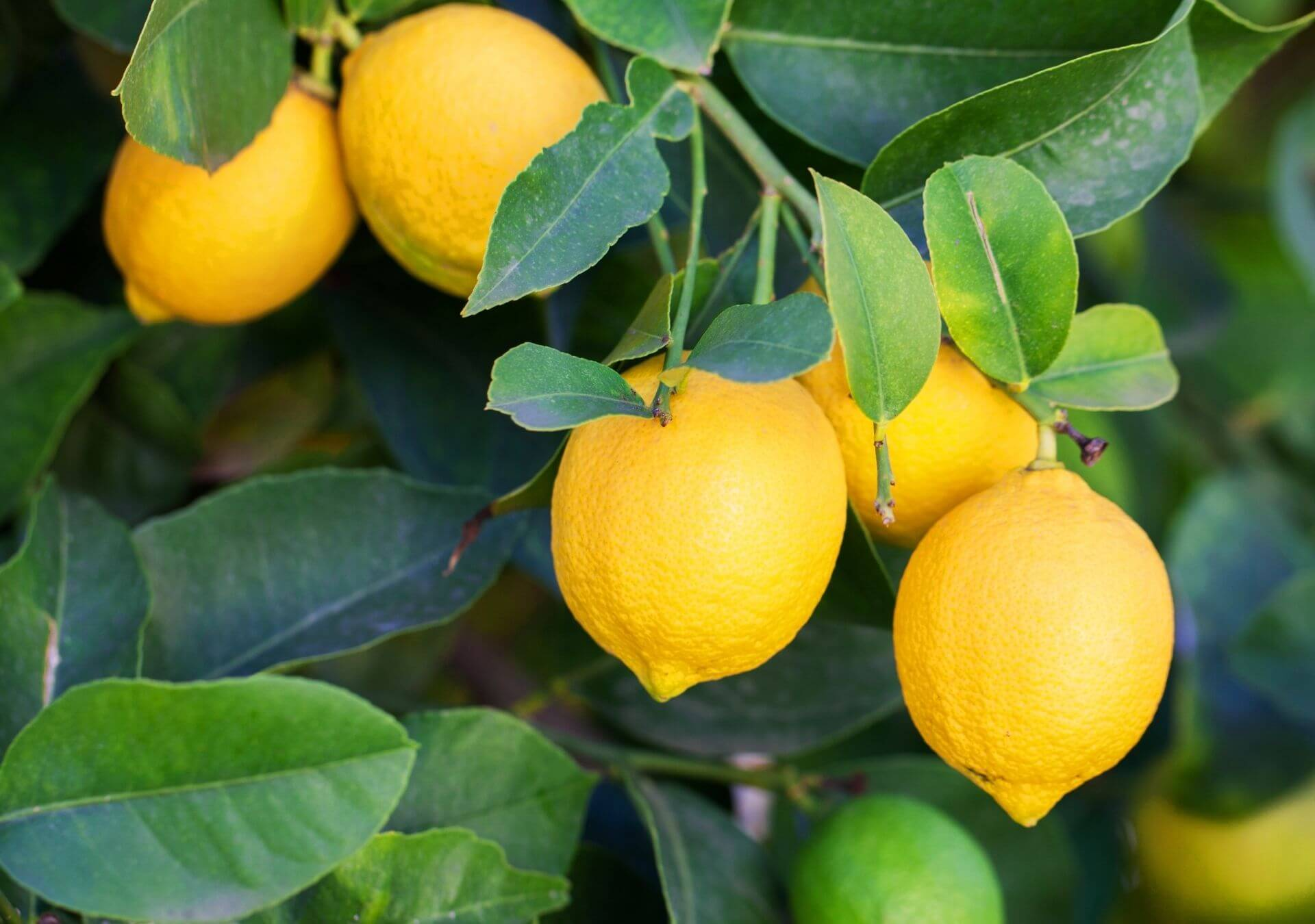 Lemons growing in a tree