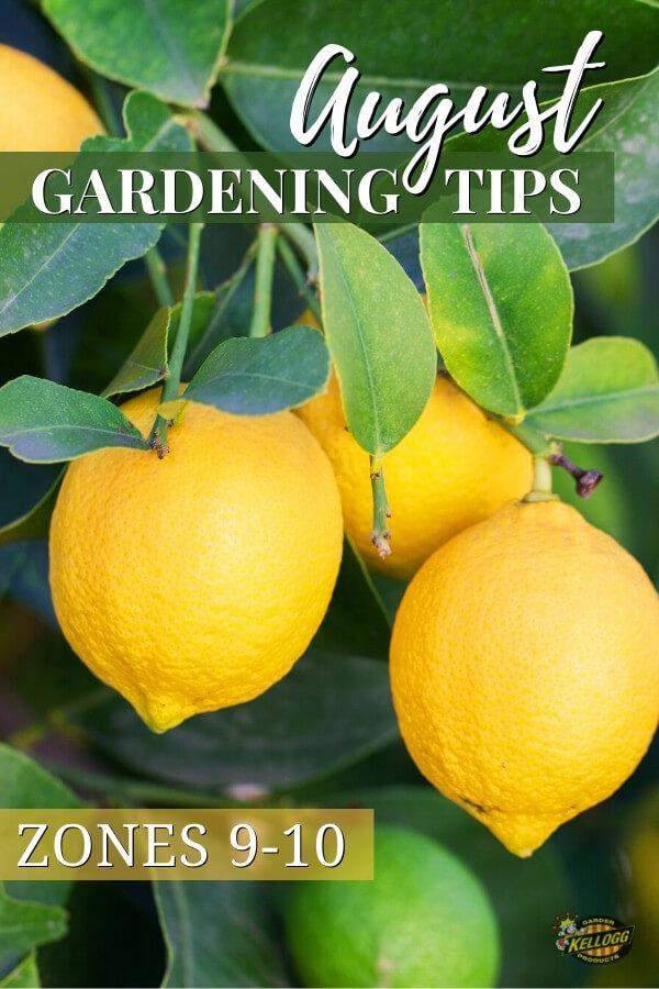 lemons growing on tree