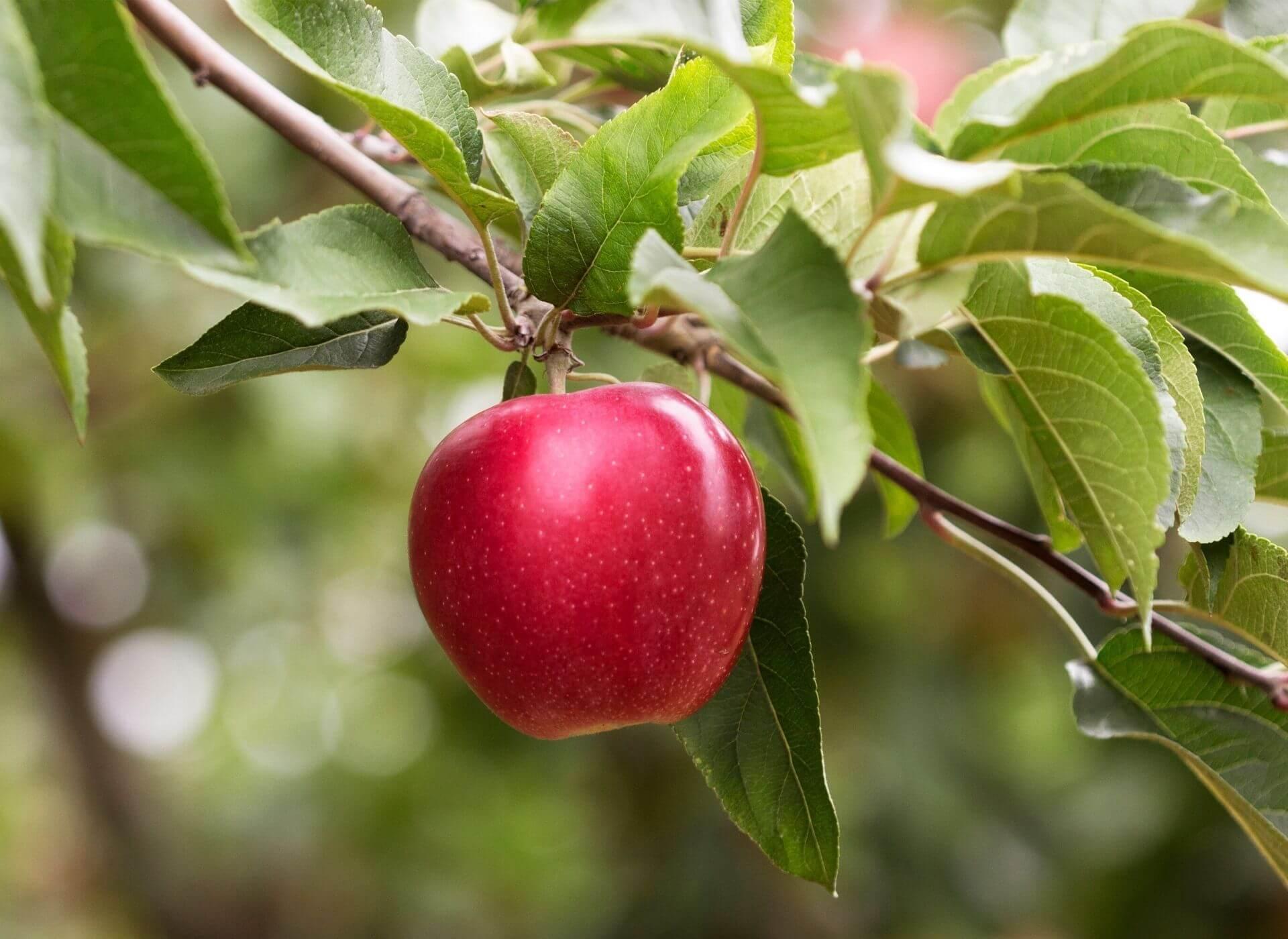 Ripe apple hanging from lush tree branch