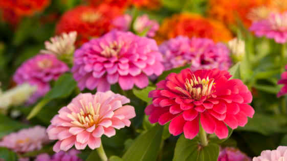 Assortment of pink-shaded zinnias in a flower patch