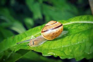 Snail on a leaf in the garden.