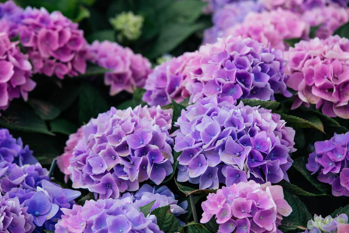 Beautiful Purple and Blue Hydrangeas