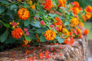 Orange and yellow lantana bush