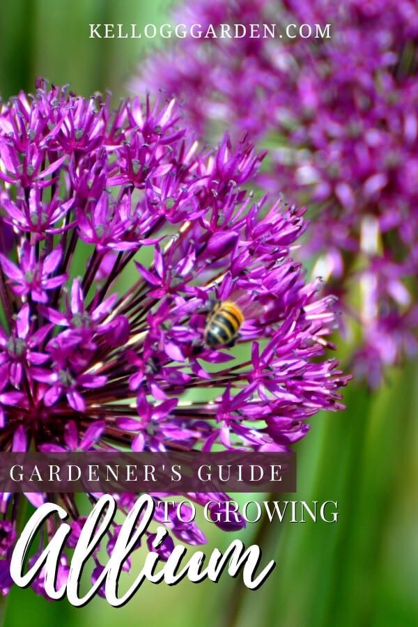 bee on purple alliums