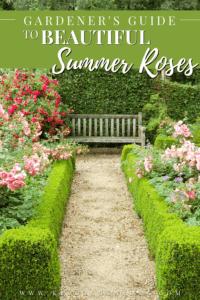 rose bush garden with wooden bench.