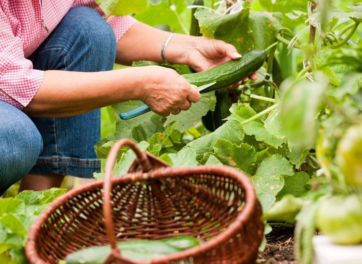 Woman harvesting plants from the garden