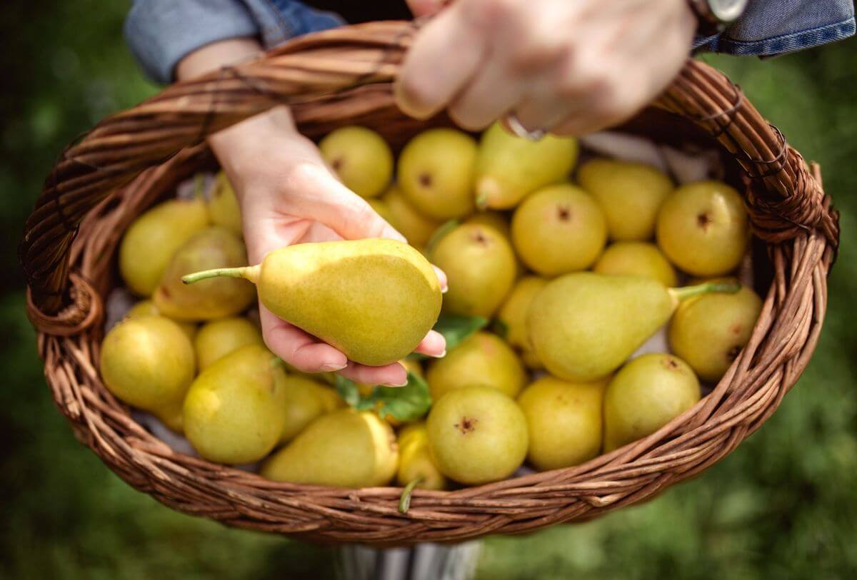 Pears in a harvest basket