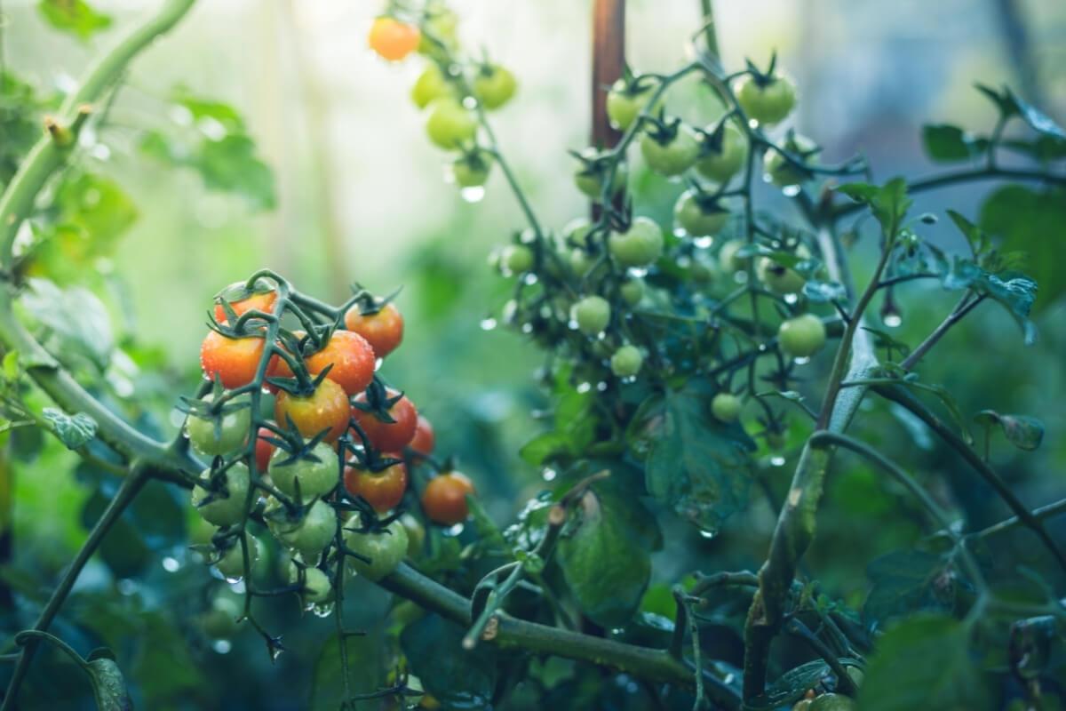 Wet tomato plant in the garden