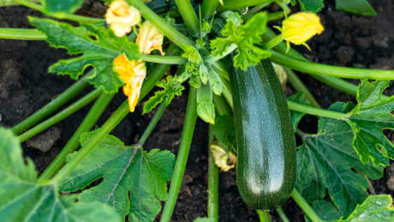 one fresh ripe green zucchini on the garden bed. Soft focus Concept harvesting.
