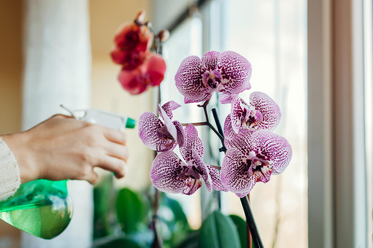 Woman spraying water on blooming orchid on window sill