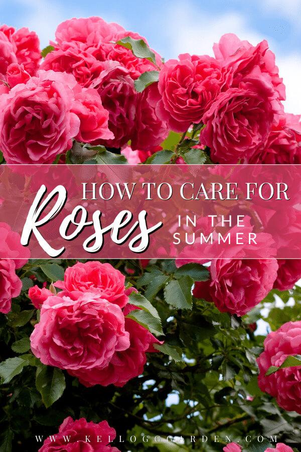 pink rose bush in full bloom.