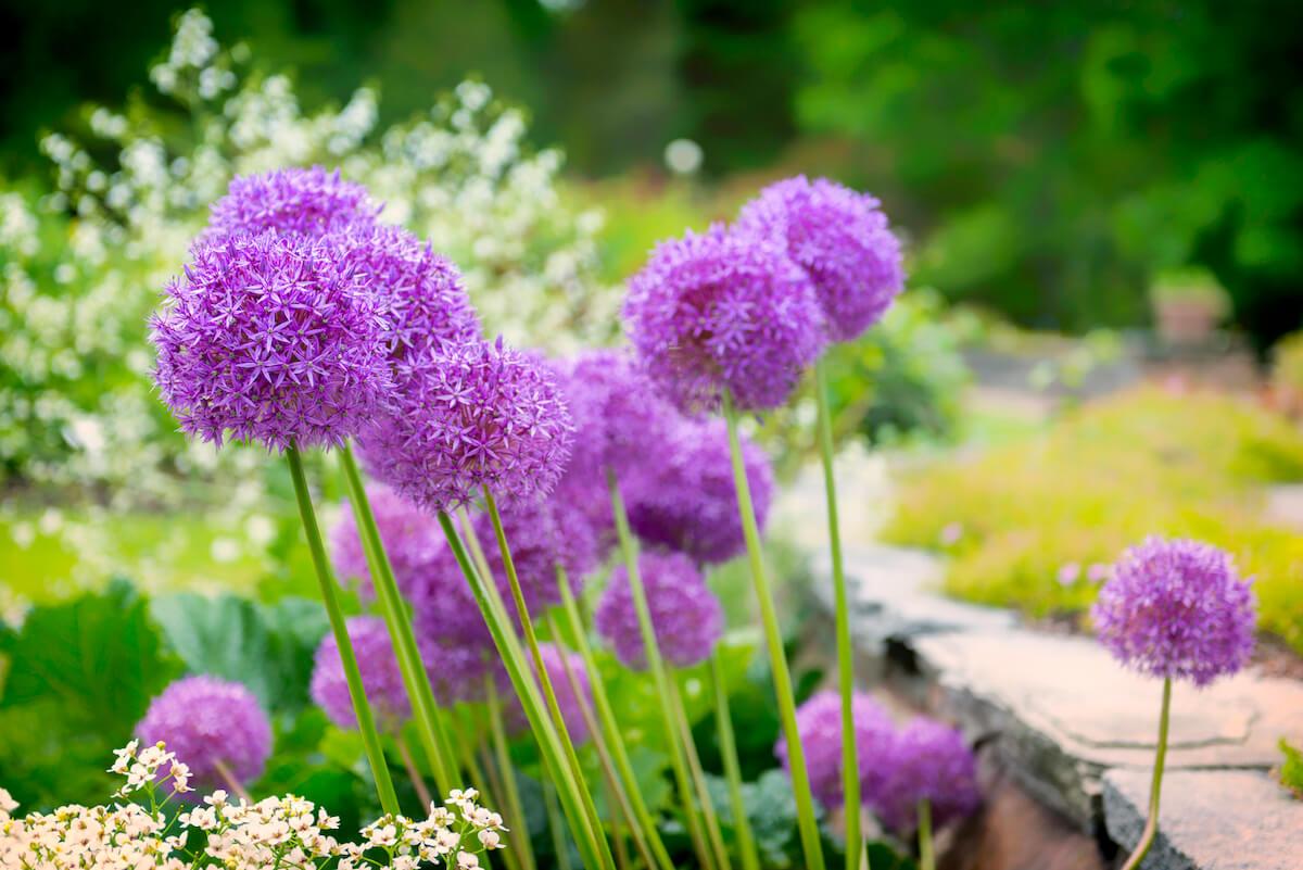 Allium flowers in a beautiful garden.