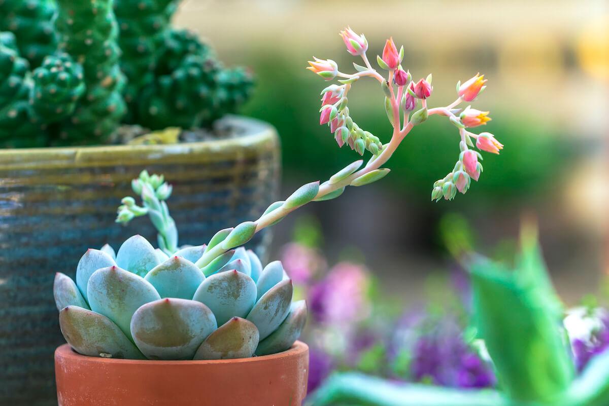 Succulent flowerbeds plant blooms in the garden