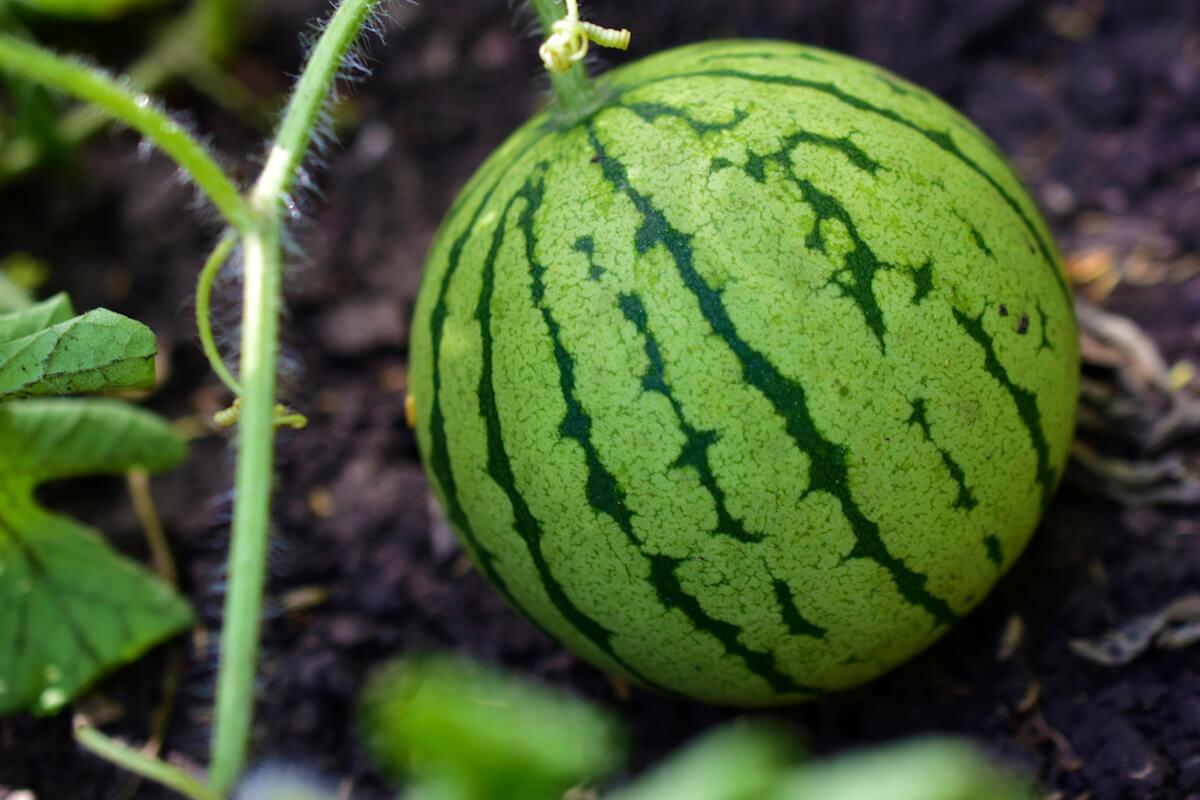 Watermelon fruit growing in a garden