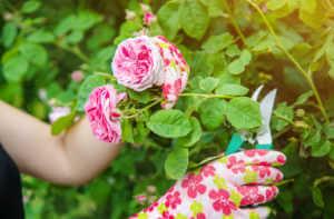gardener pruning roses.