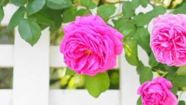 Pink rose flower on white fence