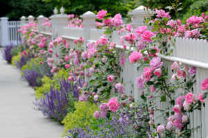 Pink roses and lavender next to a white fence