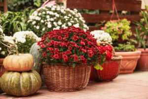 Fall container garden with flowers and pumpkins